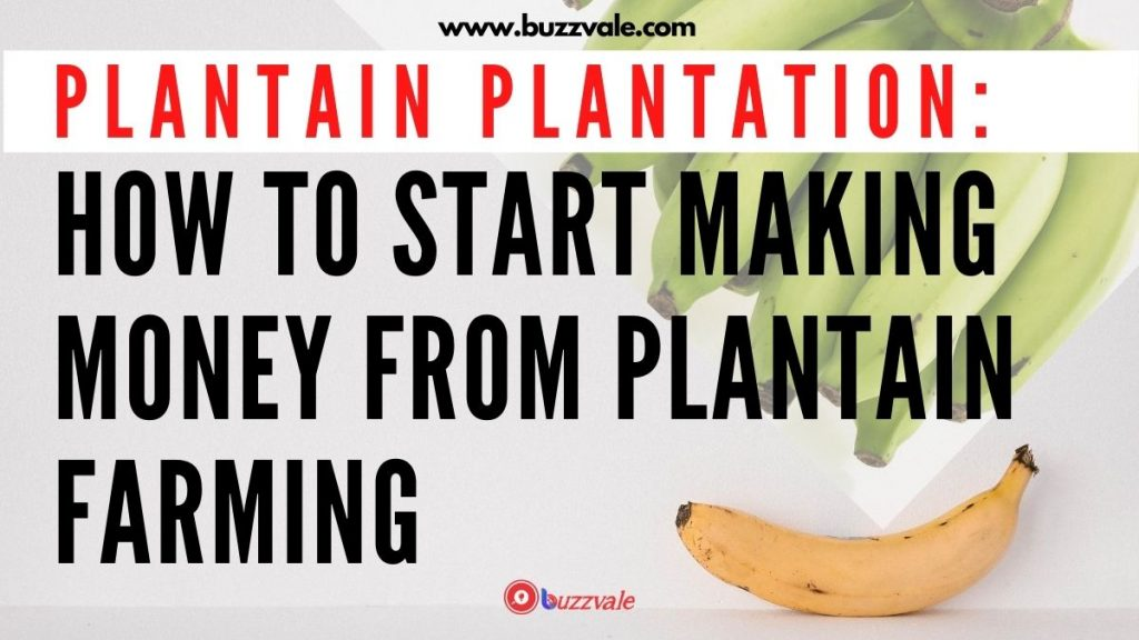plantain farming how to make money from plantain business